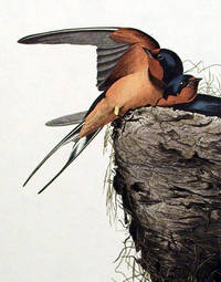 Barn Swallow. From The Birds of America (Amsterdam Edition)