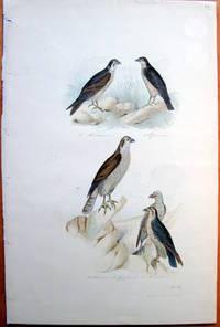 Antique Bird Print. Vultures. by Edouard Travies - from Ken Jackson (SKU: 240835)