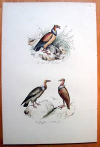 Antique Bird Print. Buzzards. by Edouard Travies - from Ken Jackson (SKU: 240836)