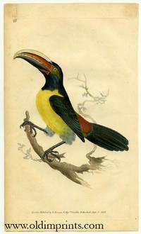 Ramphastos Viridis. Green Toucan