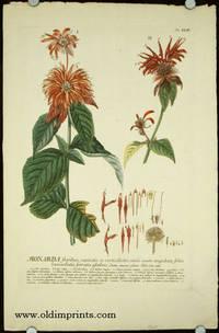 Monarda floribus capitatis et verticillatis