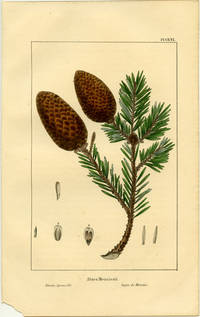 Abies Menziesii.  Menzies Spruce Fir.  Sapin de Menzies