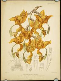 Stanhopea Bucephalus.