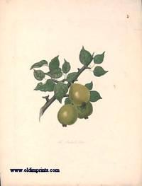 The Barland Pear