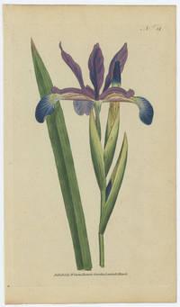 Iris Spuria. Spurious Iris.