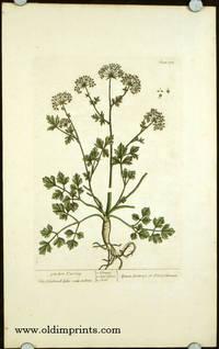 Garden Parsley. Apium hortense or Petroselinum (from A Curious Herbal).