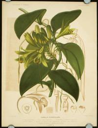Vanilla Claviculata.
