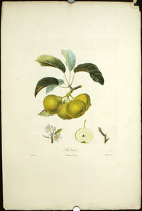 """Robine.  (Color stipple engraving from """"Traite des Arbres Fruitiers"""")."""