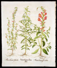 Antirrhinum flore albo [White snapdragon]; Antirrhinum flore rubro [Red snapdragon]; Antirrhinum Sylvestre [Death's-head] by BESLER, Basil (1561-1629) - from Donald Heald Rare Books and Biblio.com