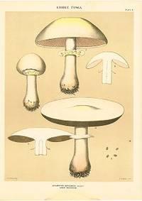 Edible Fungi.  Acaricus Arvensis Schaeff Horse Mushroom
