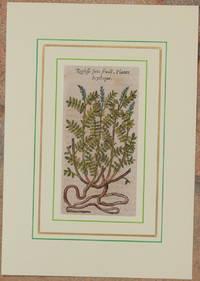 Reglisse sans fruict Plante Scythique
