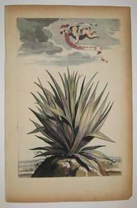 Aloe Purpurea Laevis