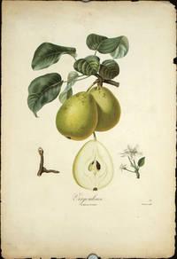 "Virgouleuse.  (Color stipple engraving from ""Traite des Arbres Fruitiers"")."