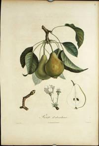 """Poire d'abondance.   (Color stipple engraving from """"Traite des Arbres Fruitiers"""")."""