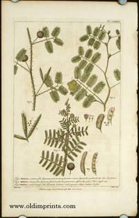 Mimosa, aculeata foliis bipinnatis