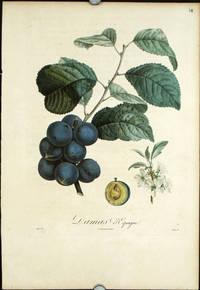 """Damas D'Espagne.  (Color stipple engraving from """"Traite des Arbres Fruitiers"""")."""