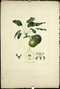 """Poire de Naples.  (Color stipple engraving from """"Traite des Arbres Fruitiers"""")."""