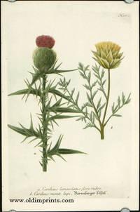 Carduus lanceolatus flore rubro