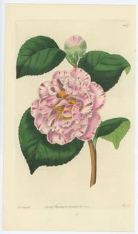Camellia japonica punctata. Gray's Invincible Camellia.