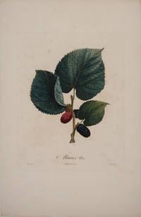 Murier Noir (Black Mulberry). Color engraving