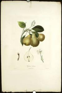 Grise bonne. (Color stipple engraving from Traite des Arbres Fruitiers).
