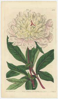 [Paeonia lactiflora].