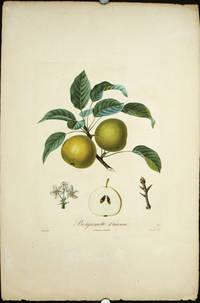 "Bergamotte d'Automne.   (Color stipple engraving from ""Traite des Arbres Fruitiers"")."