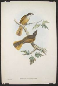 Rhipidura Fuscoruea, Sclater.  [Timor-haut Fantail Flycatcher]