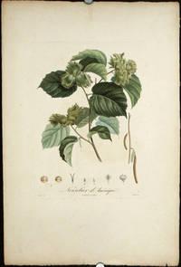 """Noisetier d'Amerique.   (Color stipple engraving from """"Traite des Arbres Fruitiers"""")."""