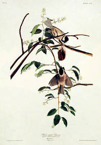 Black-capped Titmouse. From The Birds of America (Amsterdam Edition)
