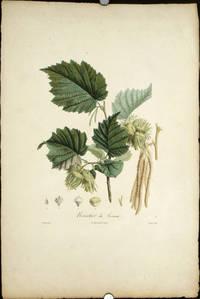 """Noisetier du Levant.   (Color stipple engraving from """"Traite des Arbres Fruitiers"""")."""