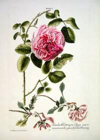 HORTUS NITIDISSIMIS ... : Rosa I; Hundertblattrigte Rose Mit 3 Auseinder Gewachssenen Blumen (print)