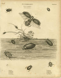 Entomology.  Order Coleoptera.  Genus Dytiscus by  G. (sculp) BEETLE) Fairman - No date.  Ca. 1805. - from oldimprints.com and Biblio.com