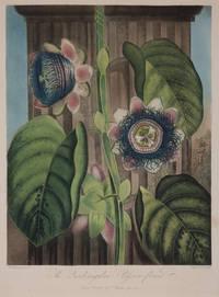 image of The Quadrangular Passion-flower