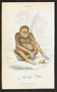 Pithecus Satyrus.  (The Red or Asiatic Orang-outang).  Native of Borneo