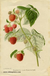 Raspberry Lord Beaconsfield.