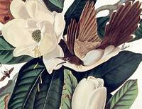 Black-billed Cuckoo. From The Birds of America (Amsterdam Edition)