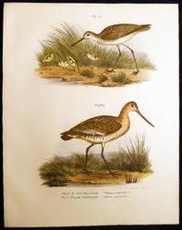 Der Teich-Wasserlaufer (Totanus Stagnatilis) & Die Grosse Pfuhlschnepfe (Limosa Aegocephala) Marsh Sandpiper & the Black-tailed Godwit formally called the Yarwhelp or Shrieker
