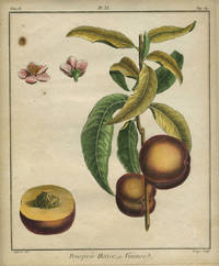 """Pourpree Hative, ou Vineuse, Plate XI,  from """"Traite des Arbres Fruitiers"""""""