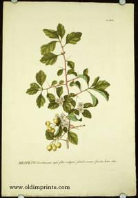 Mespilus Caroliniana, apii folio vulgari similis, maior, fructu luteo