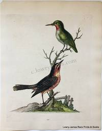 Pl. 121 The American Nightingale & the Green Sparrow or Green (Ruby-throated) Hummingbird