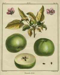 """Reinette Grise, Plate IX,  from """"Traite des Arbres Fruitiers"""""""