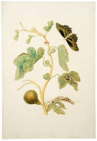 {Moths, Caterpillars on Fig Tree]