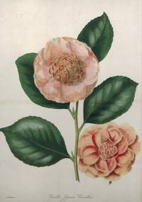 'Camellia Japonica Chandleri'. Two flowers and leaves by F.W. Smith