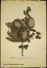 Cedrus foliis rigidis acuminatis non deciduis, conis subrotundis erectis