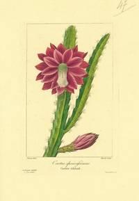 Cactus speciosissimus.  Cactier eclatant