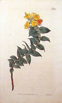 Borbonia Ruscifolia. Butcher's-Broom-Leaved Borbonia