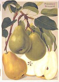 Prasident Drouard. (Variety of pear)