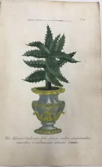 Aloe Africana caulescens folus glaucis caulem amplectentibus latioribus et undiquaque spinosis; N. 49 Aloe Perfoliata