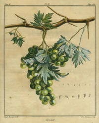 """Cioutat, Plate II,  from """"Traite des Arbres Fruitiers"""""""